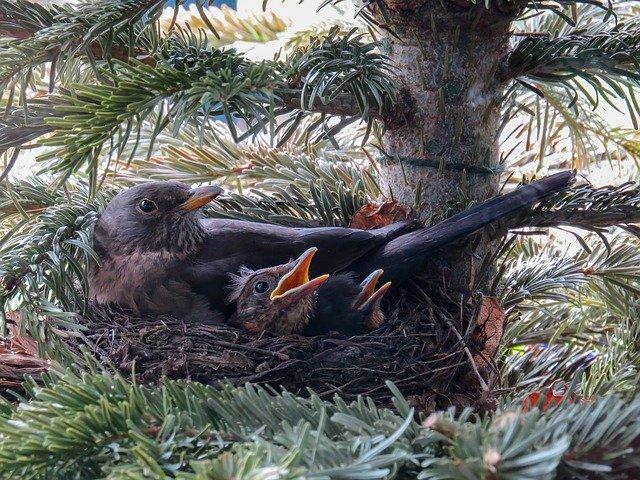 Brütende Amsel im Nest