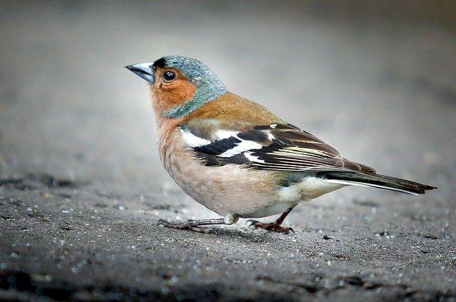 Buchfink Männchen