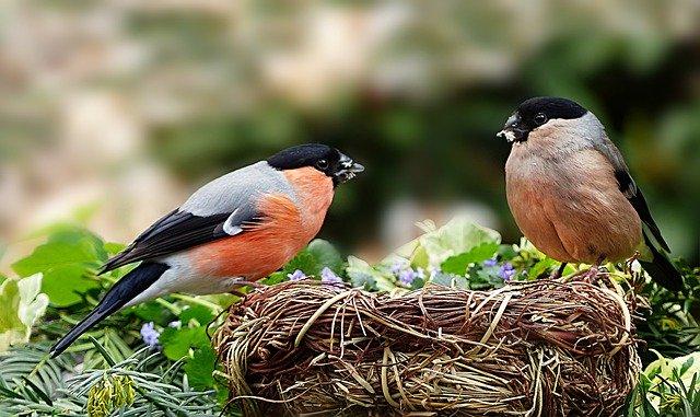 Dompfaff Weibchen und Männchen