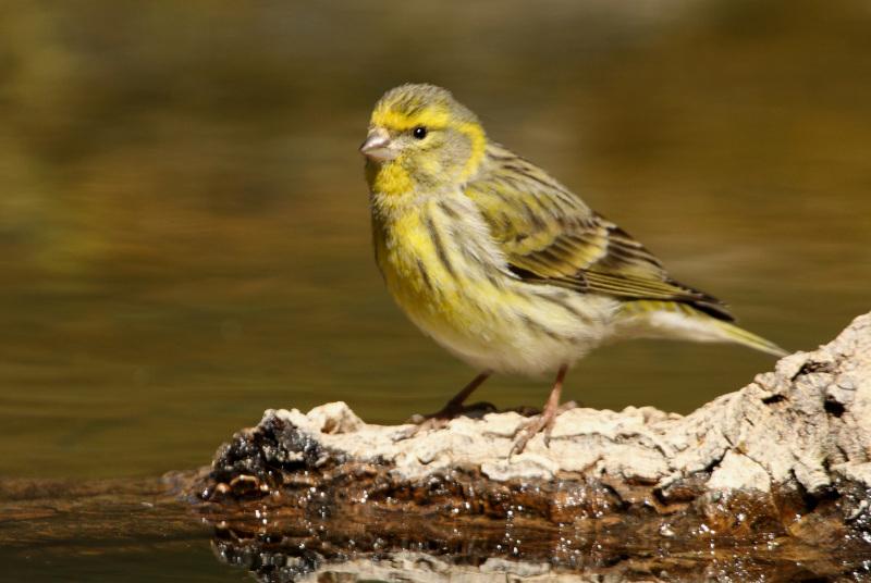 Girlitz - Heimischer Vogel