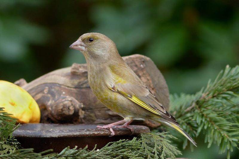 Grünfink Weibchen