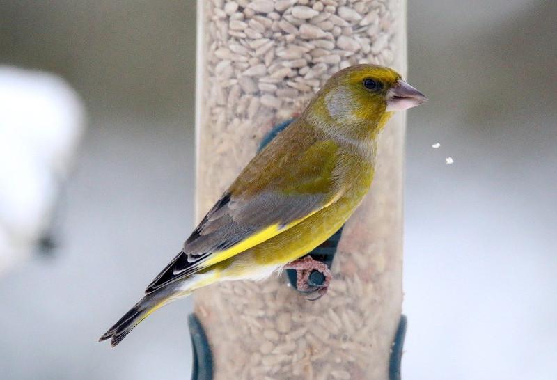 Grünfink an der Futtersäule