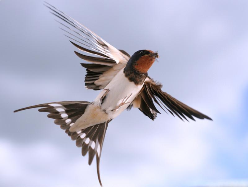 Rauchschwalbe im Flug