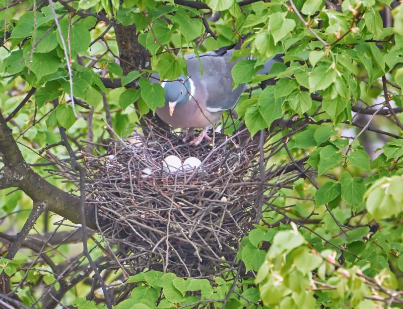 Ringeltaube beim Brüten in Nest