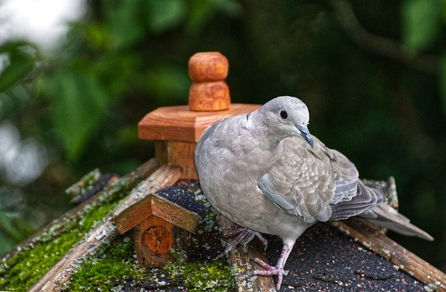 Türkentaube am Vogelhaus