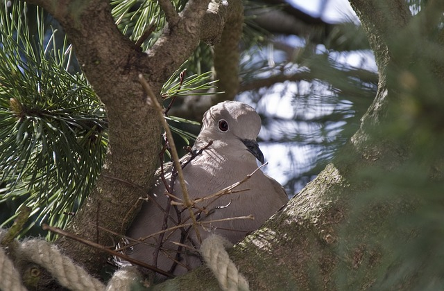 Türkentaube beim Nestbau